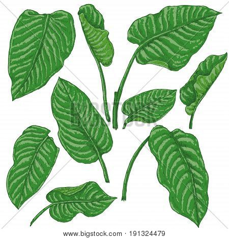 Hand drawn branches and leaves of tropical plants. Dieffenbachia green fronds isolated on white background. Vector sketch.