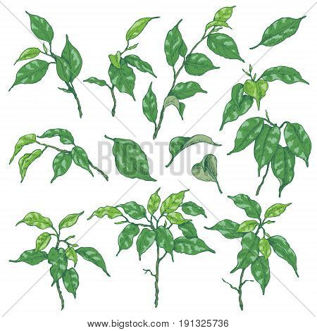Hand drawn sketch of tropical plants. Green ficus branches and leaves isolated on white. Vector sketch.