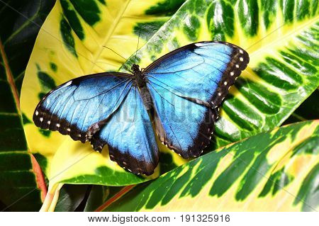 A blue morpho butterfly lands in the butterfly gardens