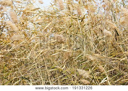 bulrush autumn as a background . A photo