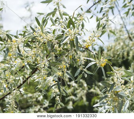 Elaeagnus, spindle tree, blooming spindle tree, fragrant spindle tree