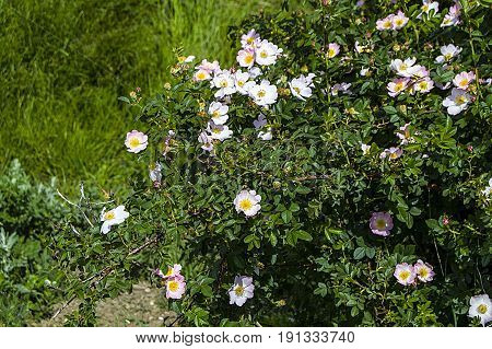 Rosehip, rosehip tree, bloomed rosehip, rosehip tree flowers, pictures of the most beautiful rosehip tree