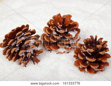 Three fir cones sitting in the snow with snow that has fallen on them. Space for text.