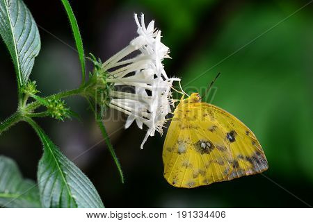 An orange-barred sulfur lands on a flower for a nectar sandwich for lunch