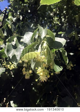 The linden tree blossomed in the summer