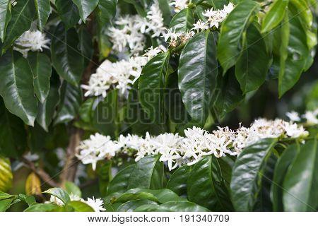 Organic Coffee Tree Blossom