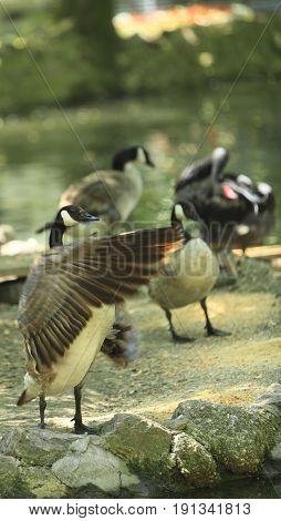 Active birds in a stockyard near a pond.