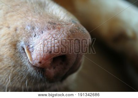 A close up of a pink dog nose.