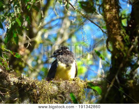 Bird perched on a tree branch. Its chest is color yellow and has a black crest