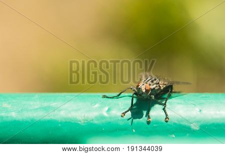 The fly sits on the surface is lit by the bright sun. Macro photo of an insect with an extreme enlargement blow-flies, carrion flies, bluebottles, greenbottles, or cluster flies calliphoridae, lucilia.