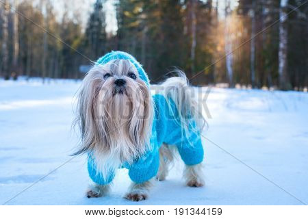Shih tzu dog in blue knitted sweater winter outdoors portrait