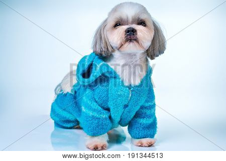 Shih tzu dog in blue knitted sweater. On bright white and blue background.