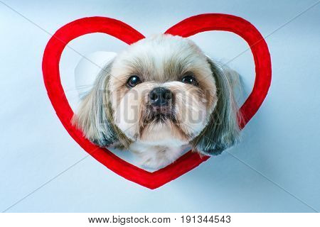 Cute shih tzu dog looking through hole in white paper with red heart symbol