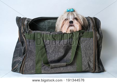 Cute shih tzu dog with blue bow sitting in bag on white background