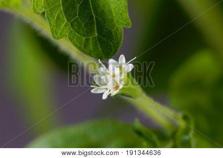 Flowers of a candyleaf plant (Stevia rebaudiana)