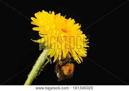 A Bumblebee Eat Nectar From A Dandelion On The Black Background