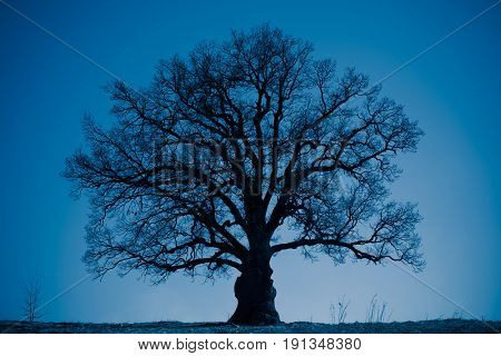 oak tree silhouette at night