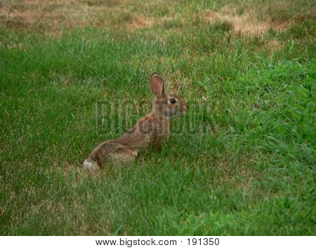 rabbit in the grass. poster
