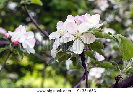 Large Flowers Of An Apple Tree In A City Park Closeup