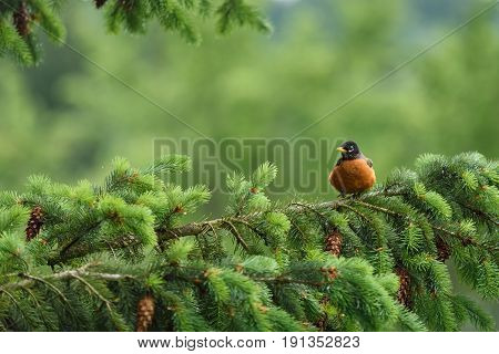 American robin sitting on an evergreen branch in the spring