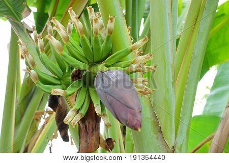 Banana flower blooming and growing banana on banana tree