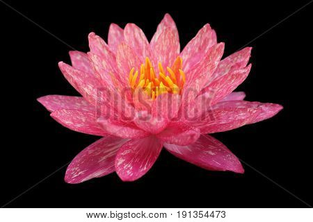 Waterlily or lotus flower isolated on black background