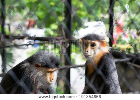 A Red-shanked Douc Langur In Cage, Bangkok, Thailand