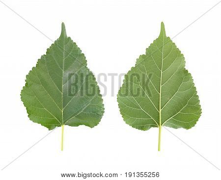 Green leaves of Mulberry or leaf tropical trees in Thailand and have clipping paths to easy deployment.