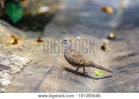 Java dove walking on the urban street background.