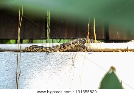 The baby of Water monitor or Varanus Salvator lay on the concrete wall Varanus Salvator is the reptiles in South Asia and Southeast Asia.