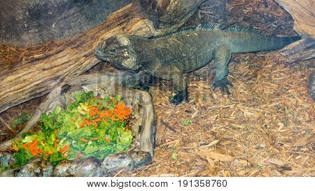 Dominican Rhinoceros Iguana red and green salad meal time