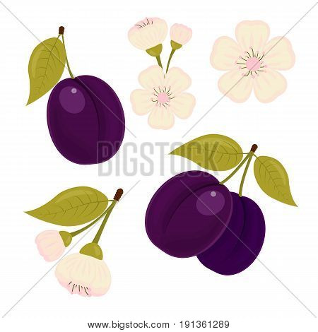 Ripe drained. A set of elements. The plum flower. Isolated white background. Stock vector.