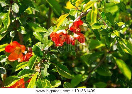 Red Flowers Of The Japanese Quince (chaenomeles) On Bush