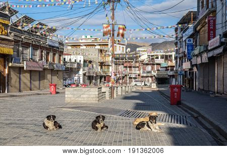 Leh India - April 28 2017 : Dogs laying in the sun at Leh city Walking street Main Bazaar in Leh Ladakh Jammu India