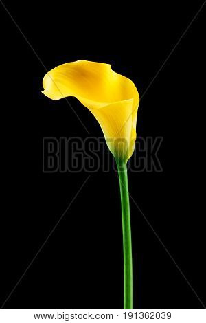 Photo of a yellow calla lily on black background
