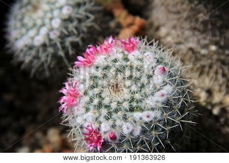 Beautiful pink flowers popping out from face of cacti in Zen rock garden.