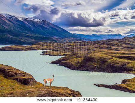Guanaco near the lake Pehoe. Mountains and lake in Torres del Paine National Park, Chile. The concept of active and extreme tourism