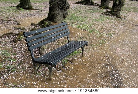 Park bench under Cherry trees, with blossoms all over the ground