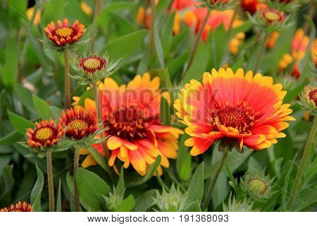 Gorgeous image of bright and colorful orange and yellow flowers in pretty landscaped garden.