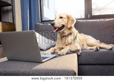 Cute Golden Retriever Dog Lying On Sofa With Laptop Indoors