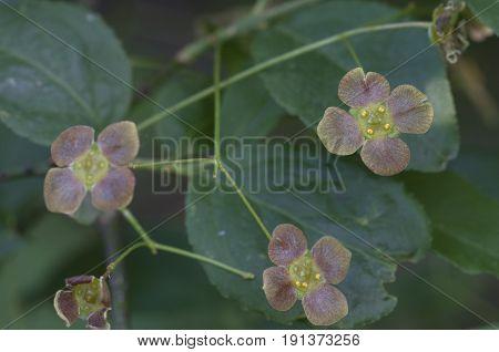 Euonymus verrucosus flowers macro shot local focus