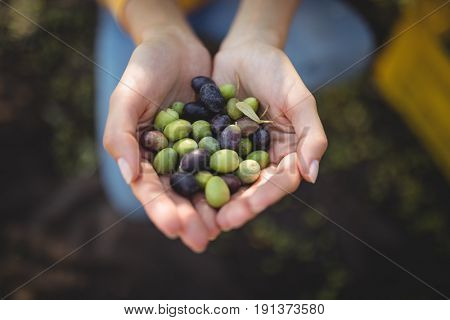 High angle view of woman holding olives while crouching at farm