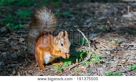 Squirrel Sits On A Ground