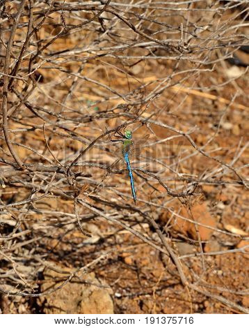 Blue dragonfly perched on twig of bush, anax imperator