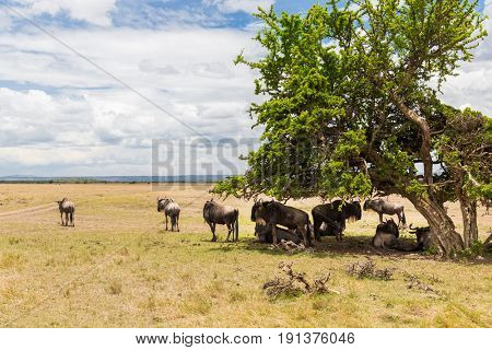 animal, nature and wildlife concept - wildebeests grazing in maasai mara national reserve savannah at africa
