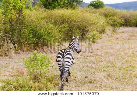 animal, nature and wildlife concept - zebra grazing in maasai mara national reserve savannah at africa