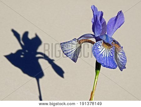 Iris flower and its shadow.  Petals streaks yellow blue