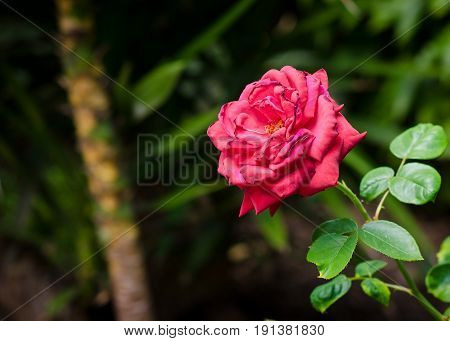 Crimson rose with a shallow depth of field