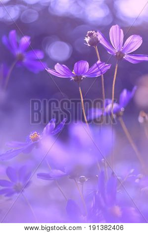Flowers cosmos purple color . Very beautiful flowers with purplish tinting.