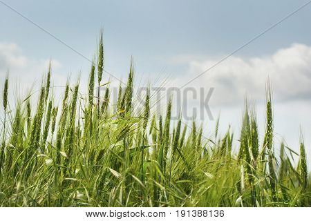 ears of wheat close-up of blooming green wheat field on blue sky background with clouds. Shallow depth of field. Selective focus. Natural background horizontal